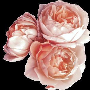 róże-newsletter