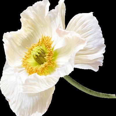 Poppy-Love-Flower-32